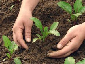 que planter dans le potager