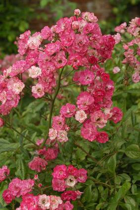 Les maladies courantes du rosier du jardinage - Rouille rosier traitement naturel ...